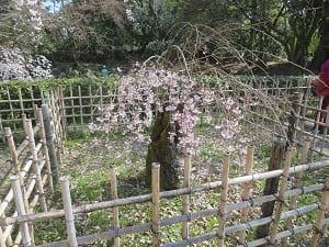 背が低い糸桜
