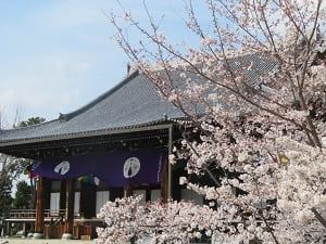 御影堂と桜