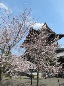 山門わきの桜