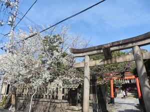 鳥居と大島桜