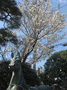 神馬と大島桜