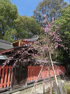 本殿脇の枝垂れ桜