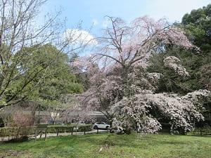 安養寺近くの枝垂れ桜