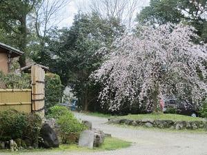 其中庵近くの枝垂れ桜