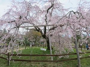 坂本龍馬像前の枝垂れ桜