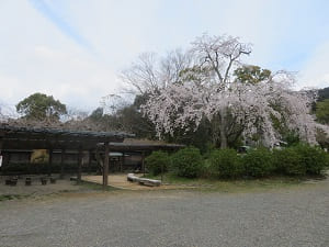 見ごろの枝垂れ桜