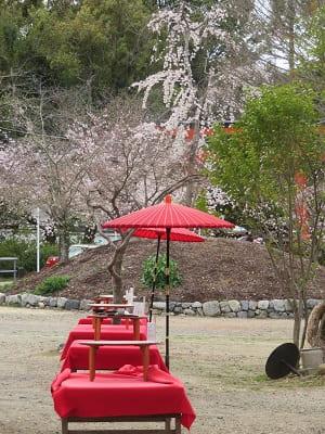 傘と床机台と桜