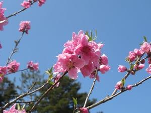 ピンク色の桃