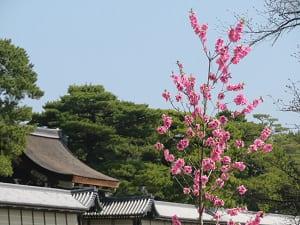 建礼門と桃