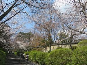 石段わきの桜