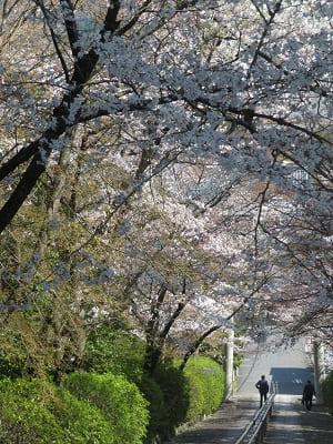 見下ろす桜と石段
