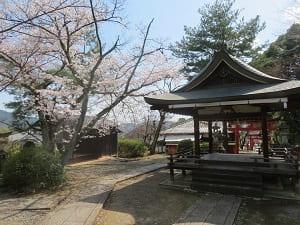 本殿から見る桜