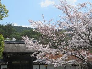 桜と勅使門