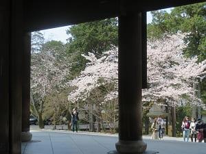 三門から見る桜