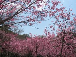 見上げる陽光桜