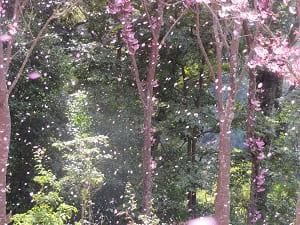 風に舞う陽光桜