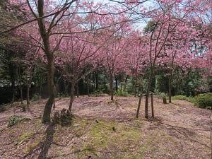 地面に散った陽光桜