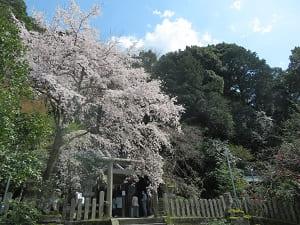 枝垂れ桜と椿ヶ峰