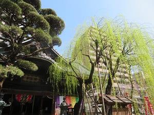 本堂と枝垂れ柳