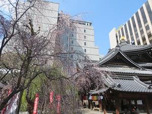 咲き始めの枝垂れ桜