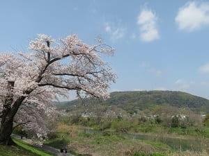 桜と天王山