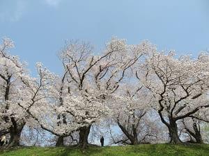 真横から見る堤防の桜