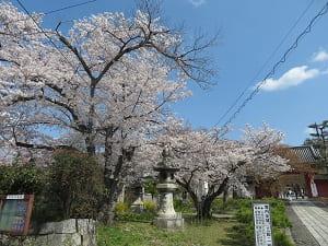 赤門前の桜
