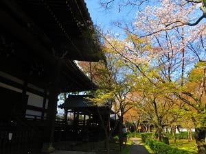 本堂裏の桜と新緑