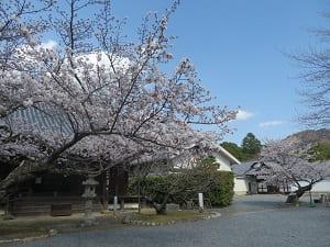 元三大師堂前の桜