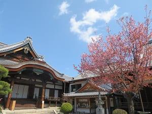 御影堂と蜂須賀桜