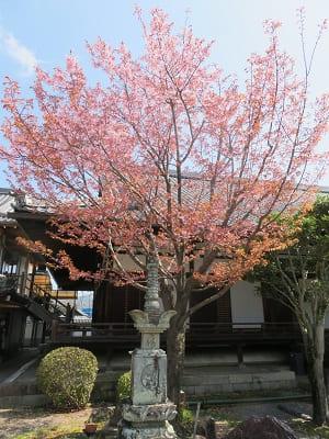 見上げる蜂須賀桜