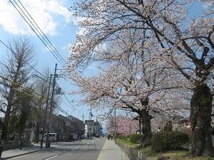 今出川通の桜