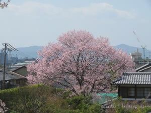 光雲寺近くの桜