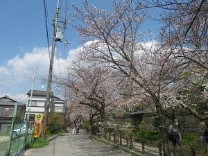 見ごろ前の桜