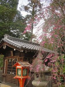 神馬舎と咲き始めの八重紅枝垂れ桜