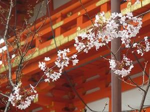 散りゆく山桜
