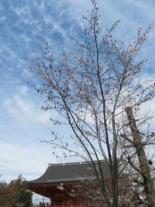 南楼門と咲き始めのソメイヨシノ