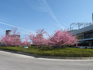 淀駅の満開の河津桜