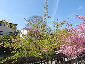 散った河津桜