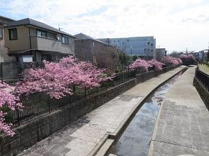 水路沿いの河津桜