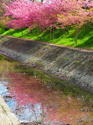 水面に映る河津桜