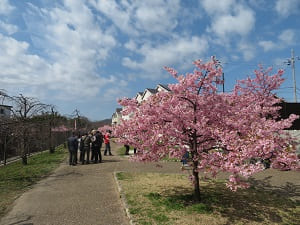河津桜と春の空