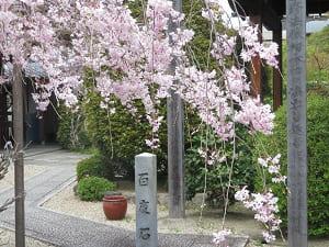 八重紅枝垂れ桜と百度石
