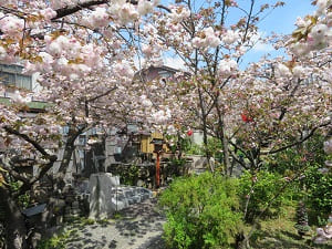 満開の普賢象桜