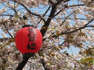 提灯と普賢象桜