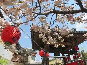 鐘つき堂と普賢象桜