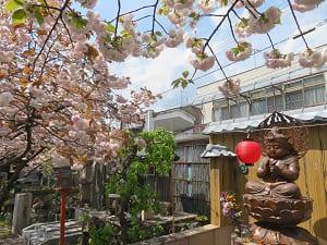 童観音と普賢象桜