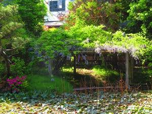 放生池の藤