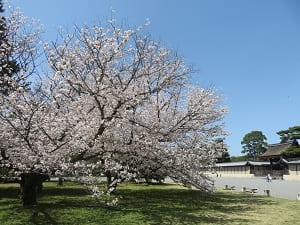 満開の桜と建礼門