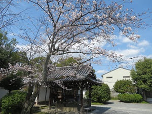 手水屋と桜